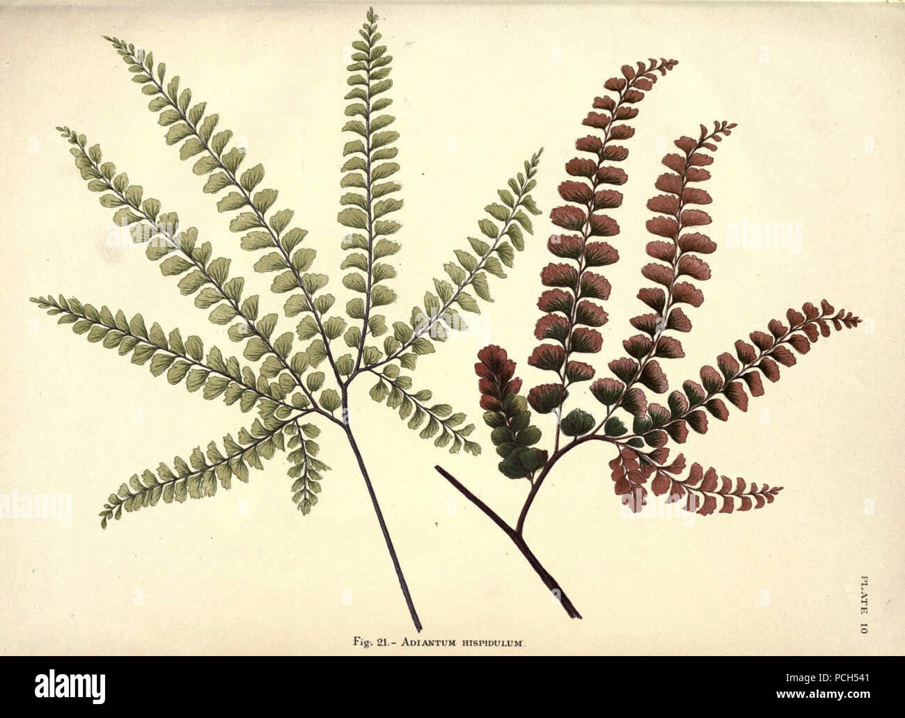Album of Indian ferns (Plate 10) Stock Photo