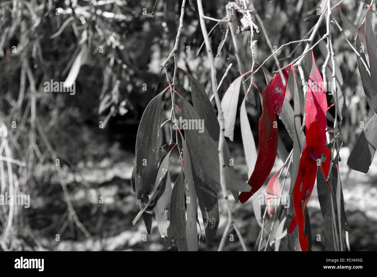 Gum leaves photographed using the red filter on a fujifilm x100f camera, Townsville, Queensland, Australia - Stock Image