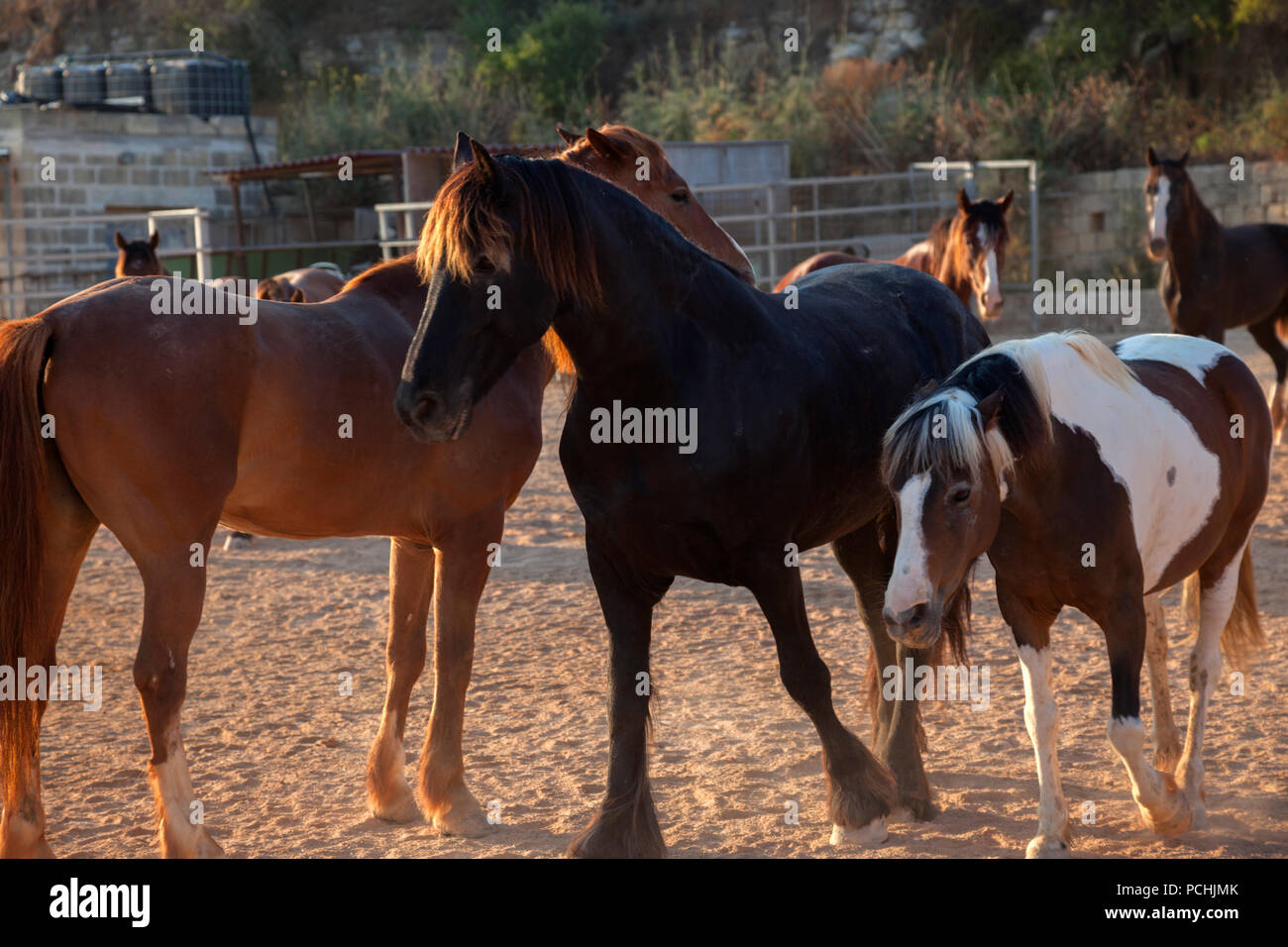Horses milling around the paddock at a horse farm. - Stock Image