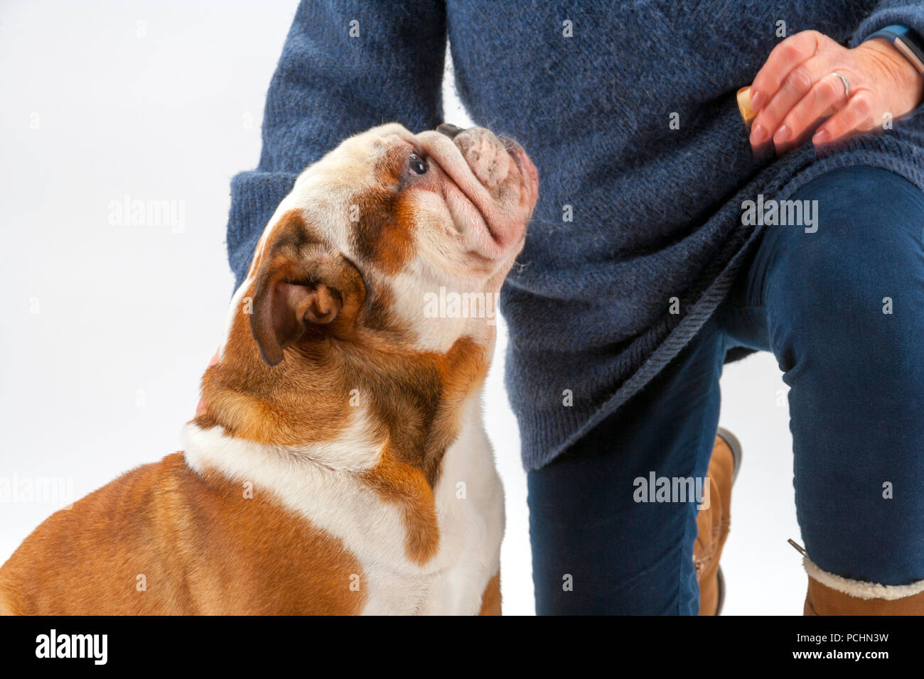 A traditional British Bulldog sits on a white seamless background waiting for his mistress to give a treat - Stock Image