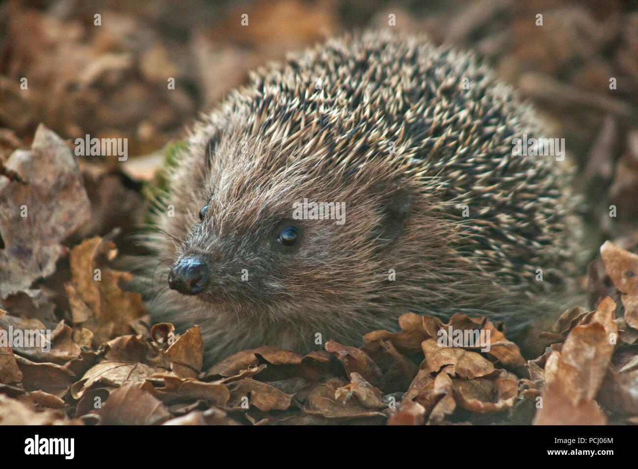 British Hedgehog - Stock Image