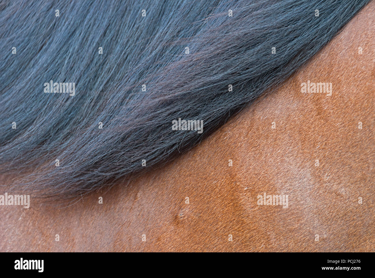 Bay Horse - Stock Image