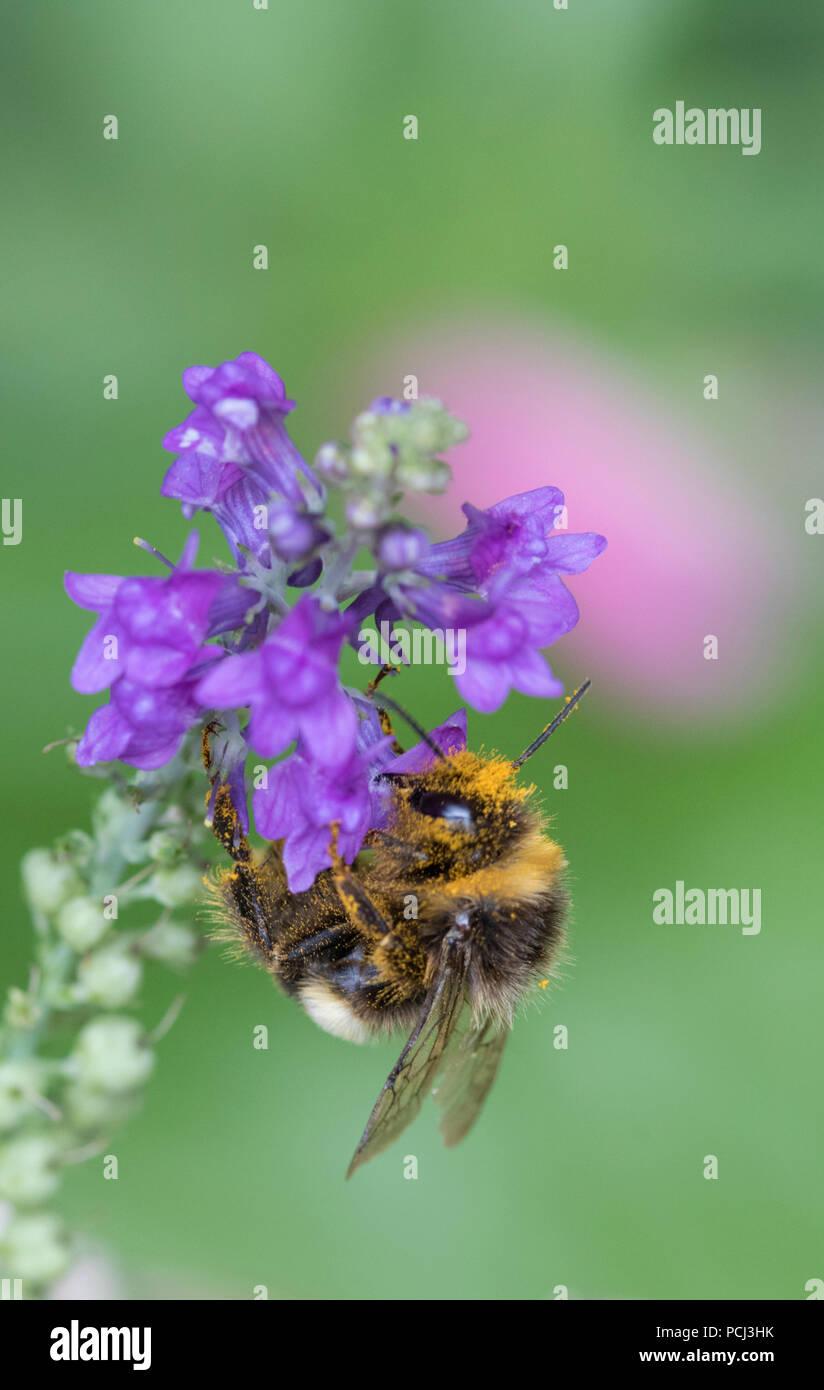Bumblebee covered in pollen, England, UK - Stock Image