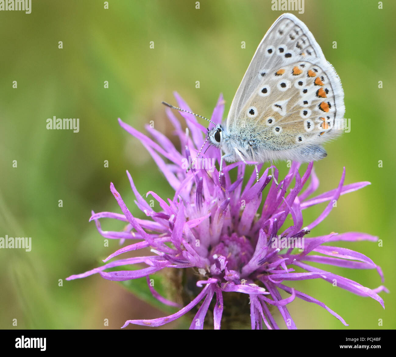 A male common blue butterfly (Polyommatus Icarus) feeds with its proboscis stretching deep into a flower of Common Knapweed (Centaurea nigra). Bedgebu - Stock Image