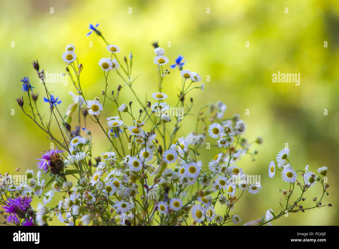 Field Flowers Chamomile And Cornflower Beautiful Flower Natural