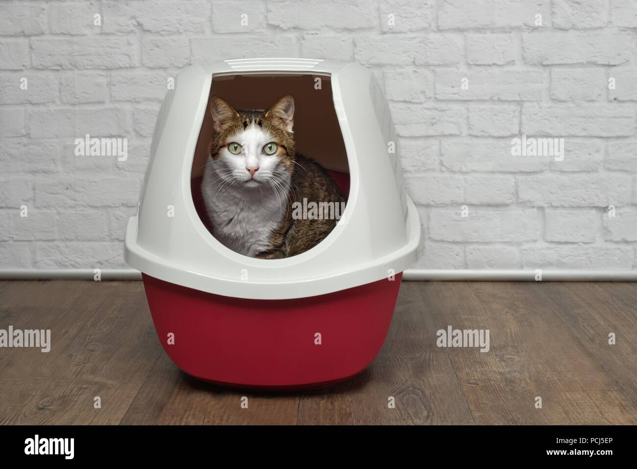 Cute tabby cat sitting in a red litter box and looking to the camera. - Stock Image