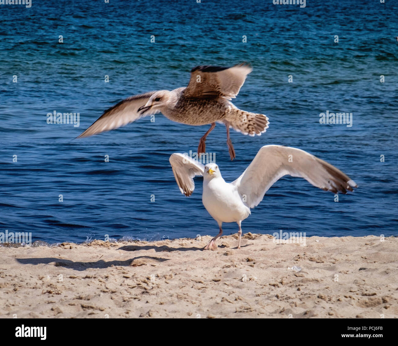 Germany Loddin,Stubbenfelde Beach.Sea gull, Laridae Lari, at Coastal bathing resort on the island of Usedom on the Baltic Sea. - Stock Image