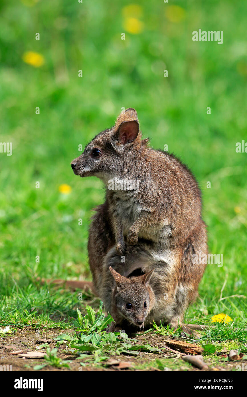 Parma Wallaby, female with joey, Australia, (Macropus parma) - Stock Image