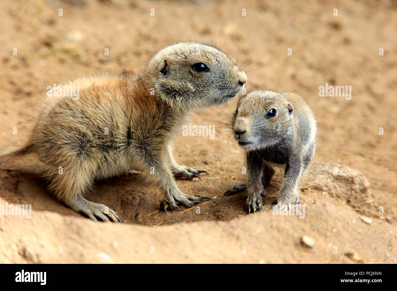Black Tailed Prairie Dog, two youngs at den, Northamerica, (Cynomys ludovicianus) - Stock Image