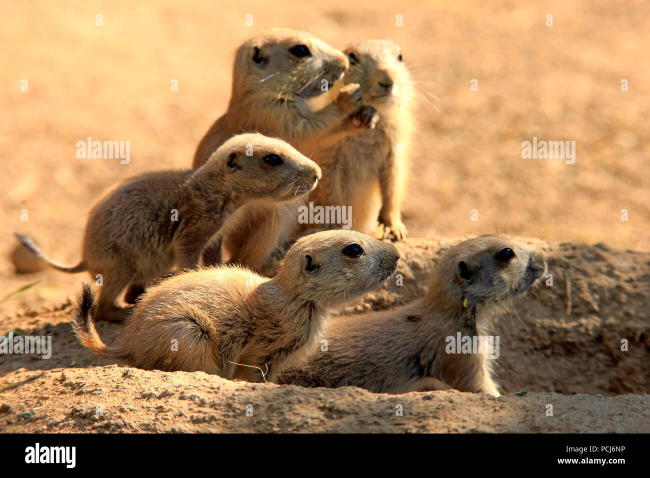 Black Tailed Prairie Dog, group of youngs at den, Northamerica, (Cynomys ludovicianus) - Stock Image