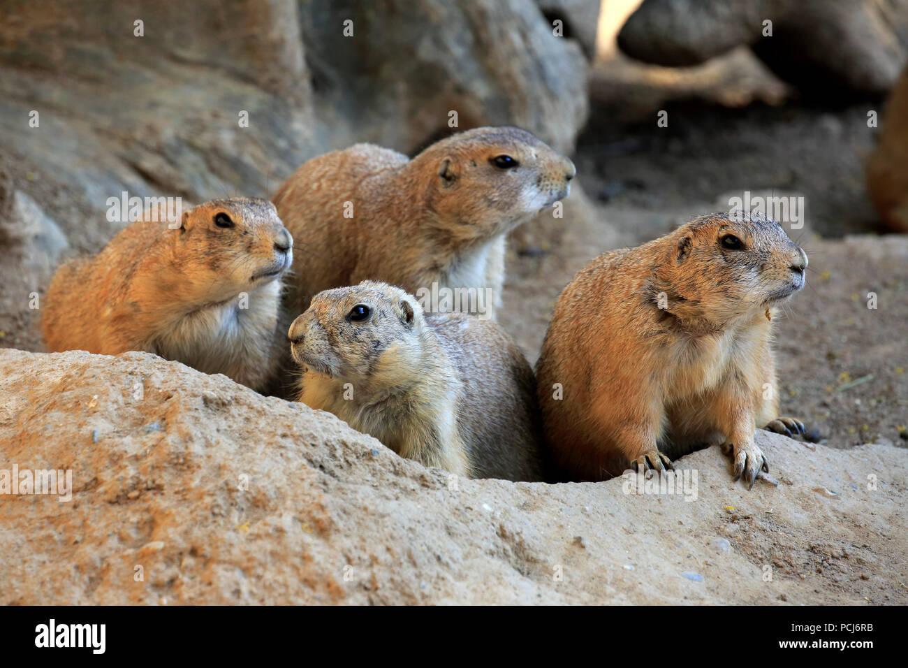 Black Tailed Prairie Dog, group at den, Northamerica, (Cynomys ludovicianus) - Stock Image