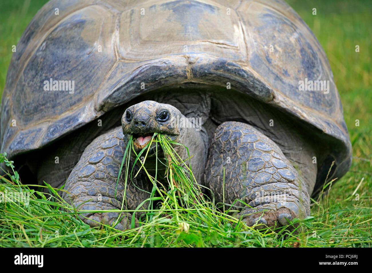 Seychelles giant tortoise, adult feeding, Seychelles, Africa, (Aldabrachelys gigantea) - Stock Image