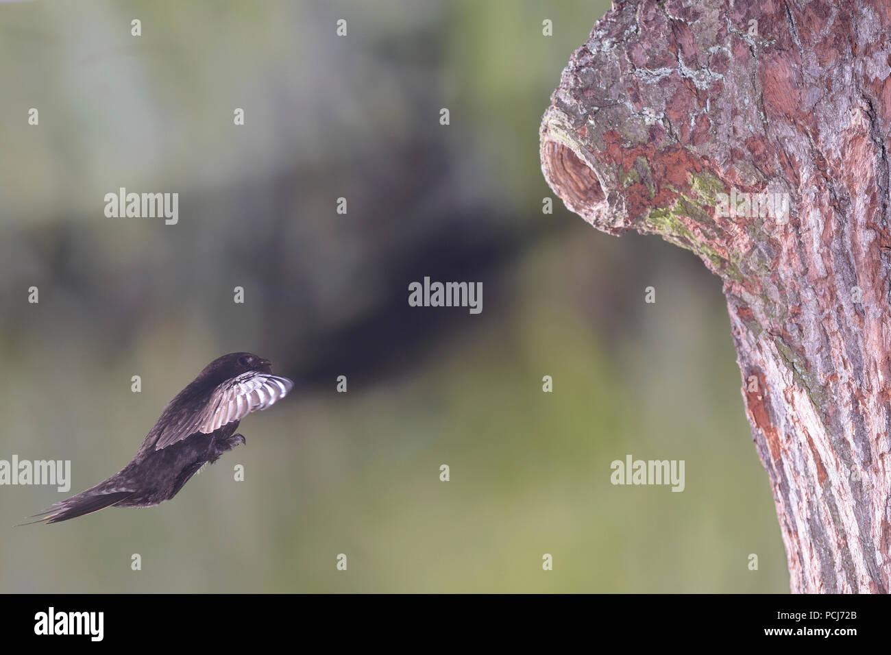 Mauersegler, im Anflug an Spechthoehle, Selketal bei Harzgerode, Harz, Deutschland, (Apus apus) - Stock Image