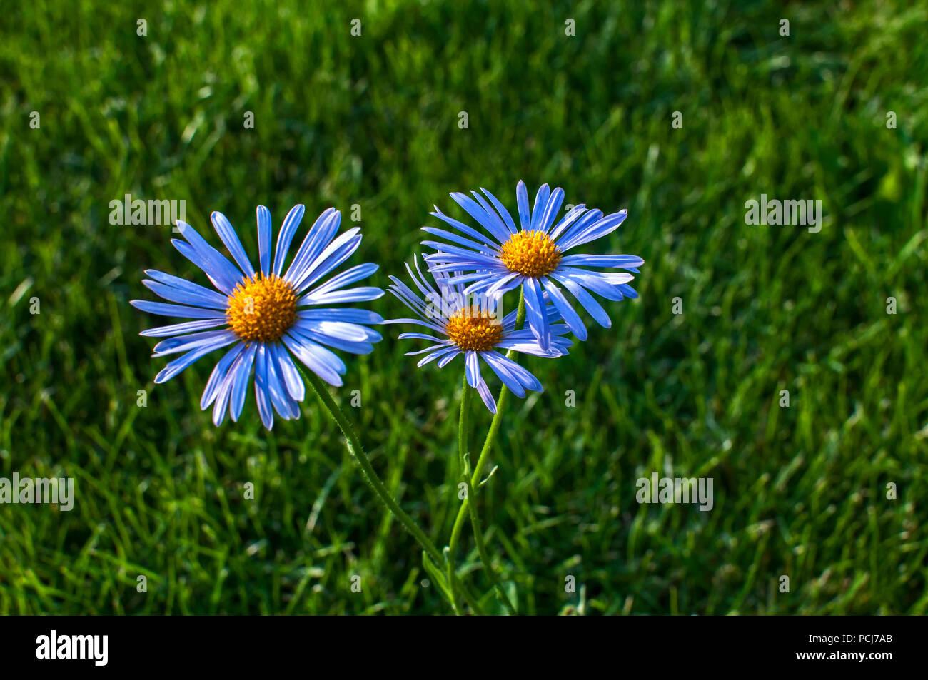New England Blue Aster Flower Closeup On Green Grass Meadow