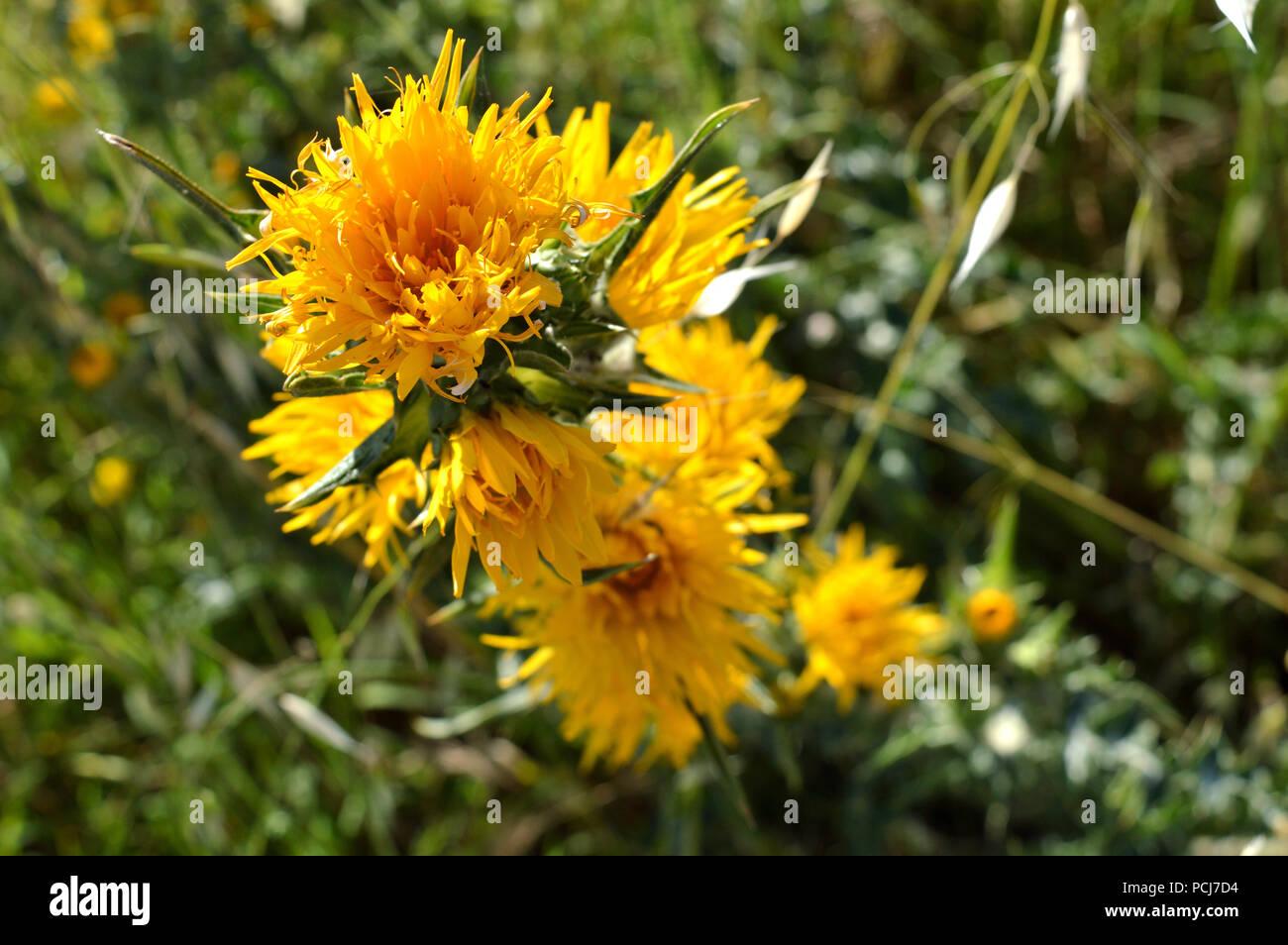 Close-up of Wild Yellow Thistles Flowering, Nature, Macro, Sicily - Stock Image