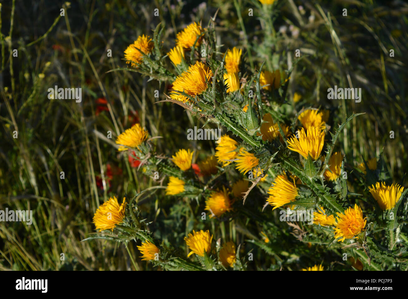 Close Up Of Wild Yellow Thistles Flowering Nature Sicily Stock