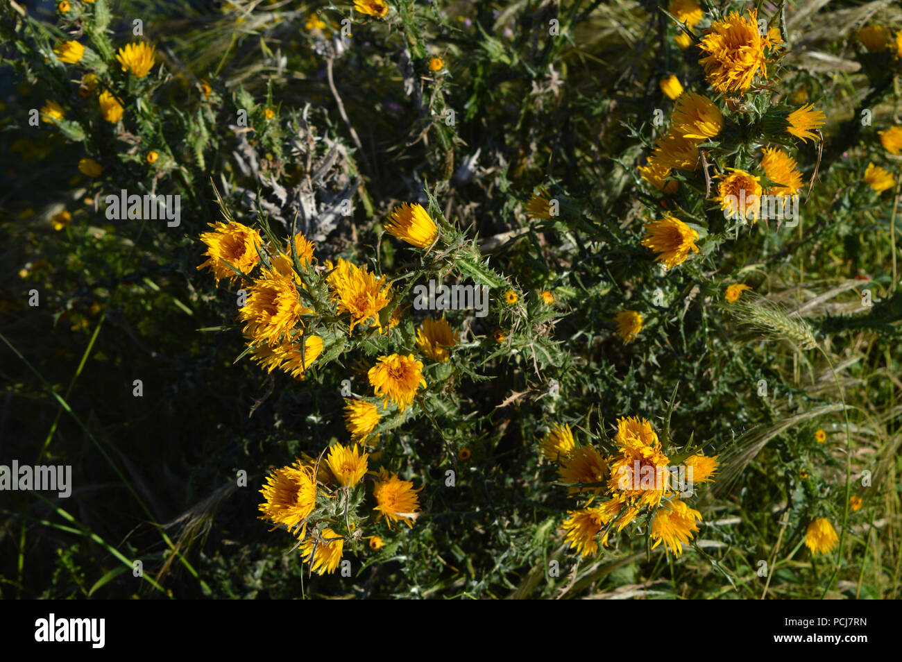 Close-up of Wild Yellow Thistles Flowering, Nature, Sicily - Stock Image