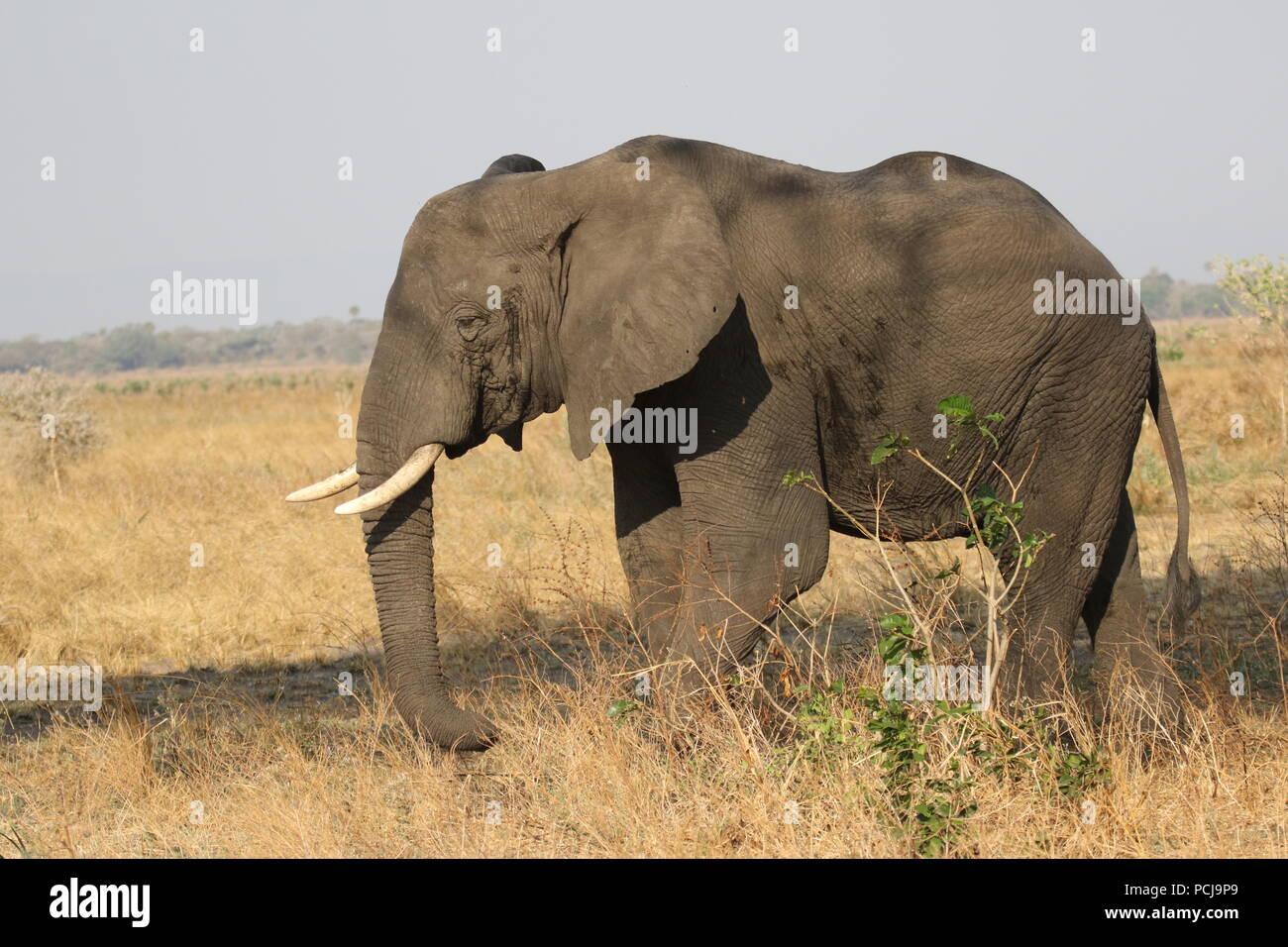 Katavi wildlife - Stock Image