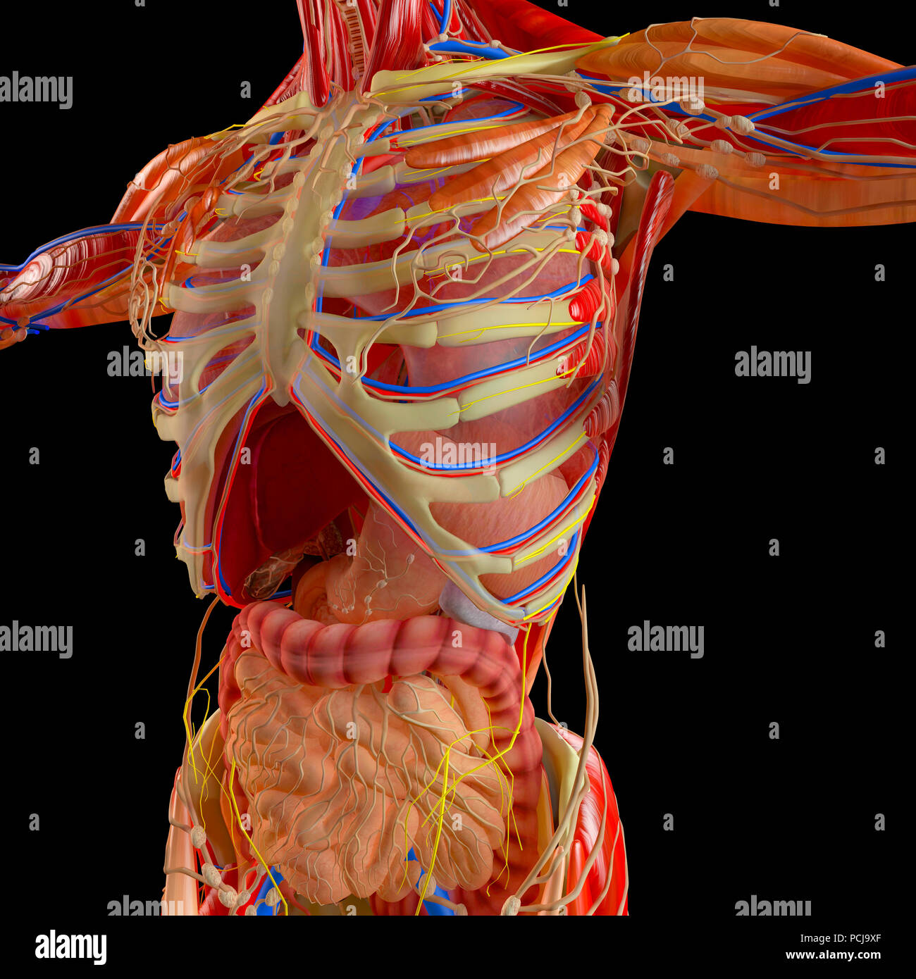 Human body, muscular system, digestive system, anatomy. Stomach ...