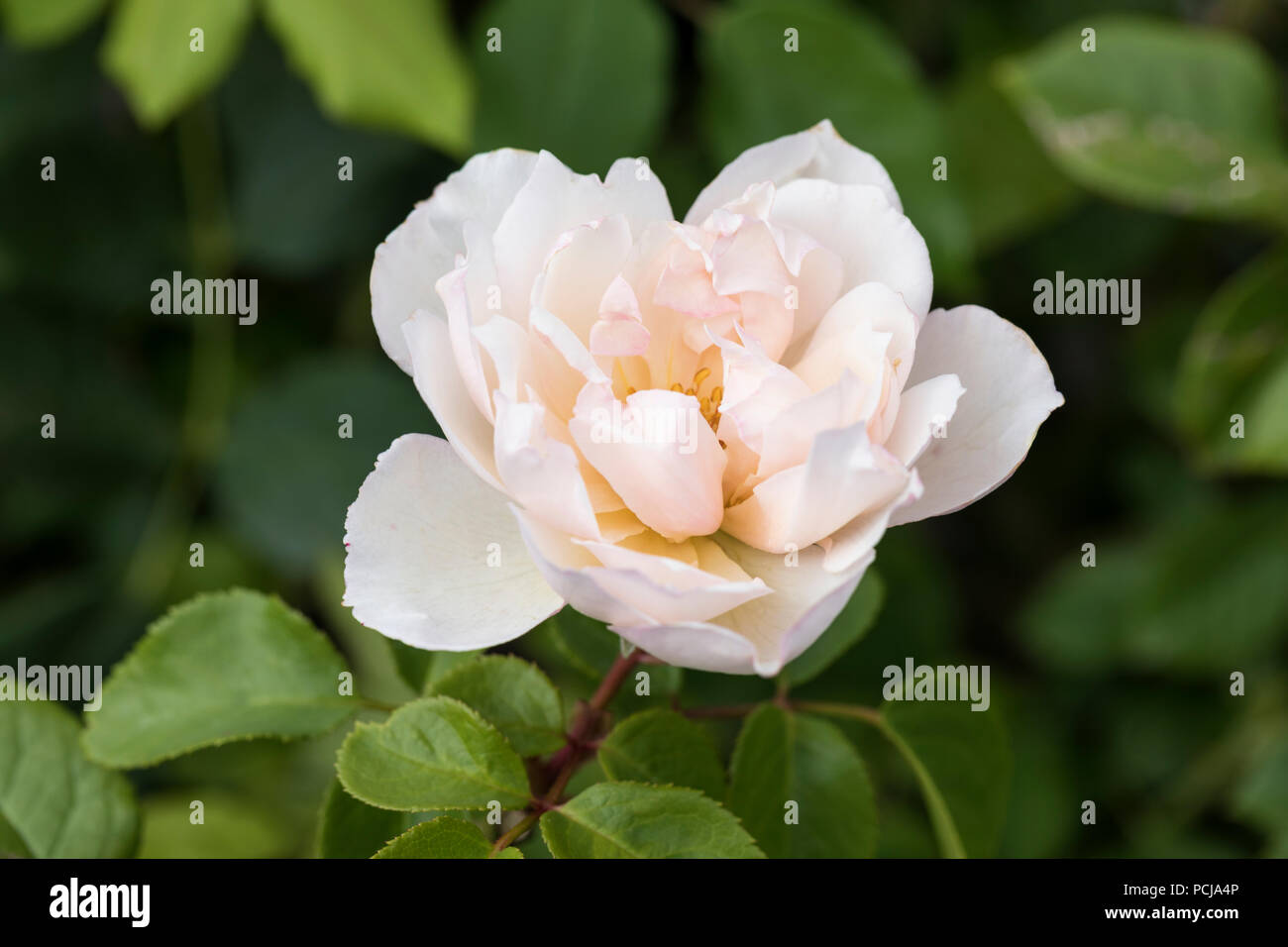 Close up of David Austin Rose -  The Generous Gardener - Stock Image