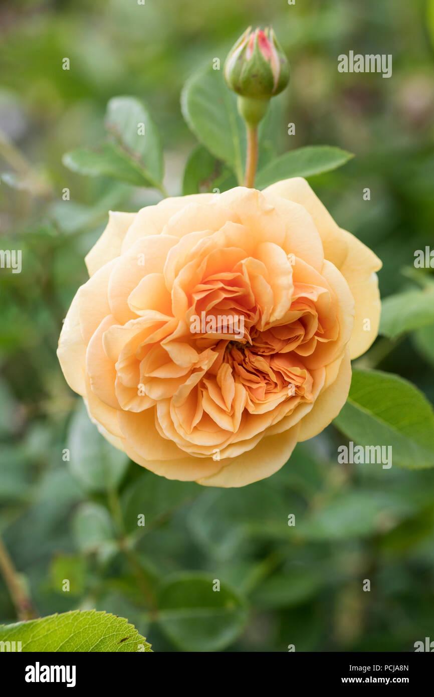 Close up of Teasing Georgia - A David Austin Climbing Rose - Stock Image