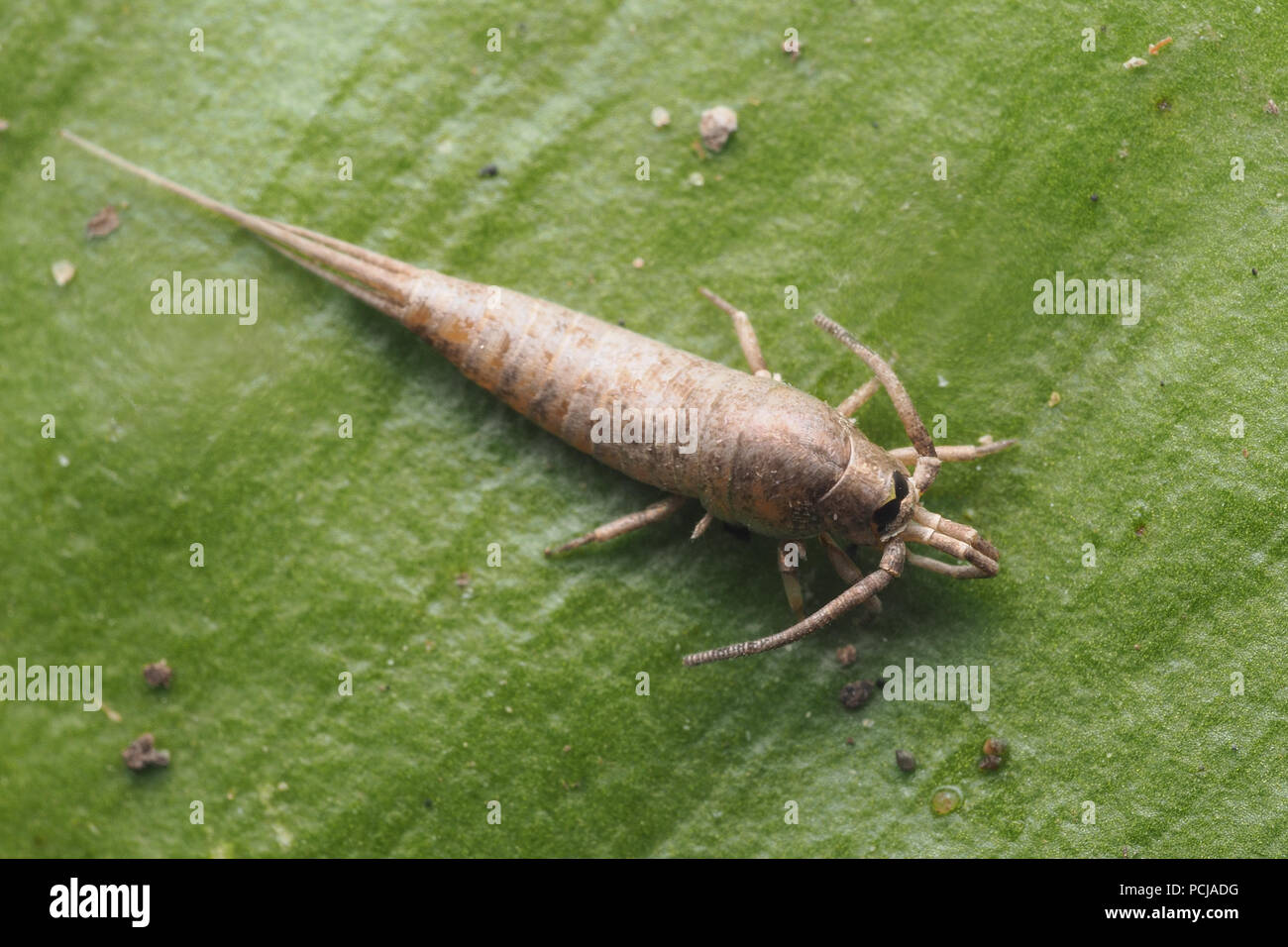 Dorsal view of a Bristletail (Dilta hibernica) on top of leaf. Tipperary, Ireland - Stock Image