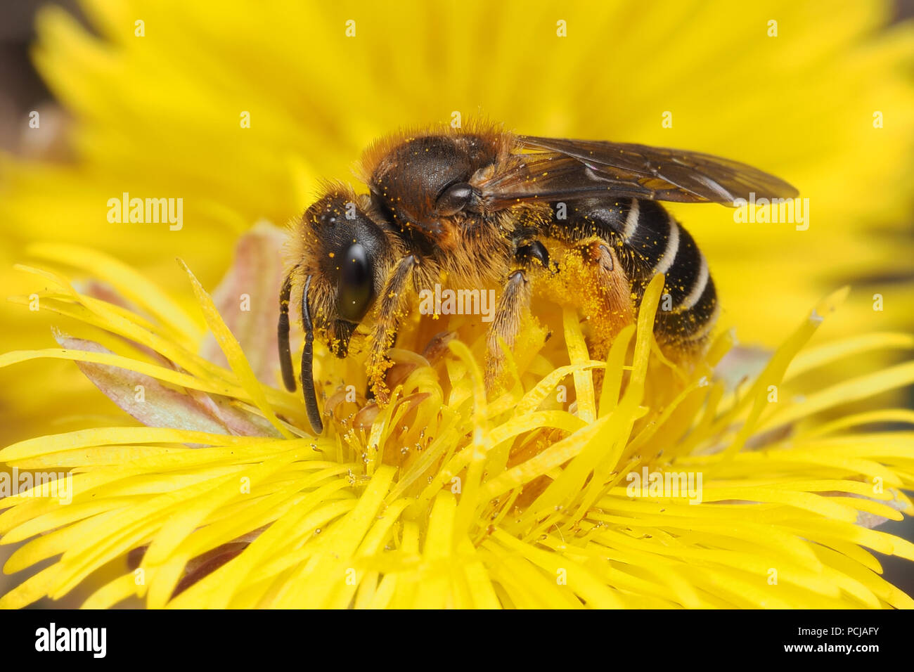 Halictus rubicundus bee feeding on Coltsfoot flower. Tipperary, Ireland - Stock Image