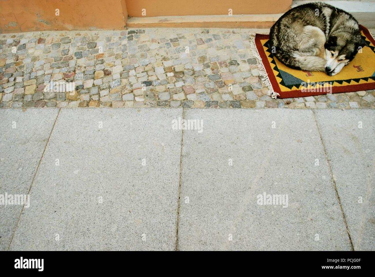 sleeping,dog,sled dog - Stock Image