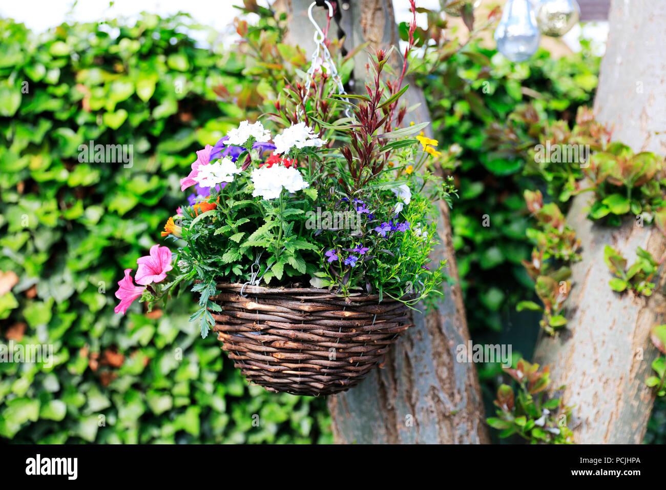 Hanging basket, Hanging basket plants, Hanging basket flowers, Hanging basket flowering, Hanging basket summer, Hanging basket UK, Hanging baskets - Stock Image