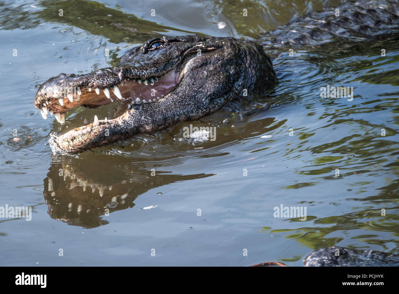 Hungry alligator with open mouth in St. Augustine, Florida. (USA) - Stock Image