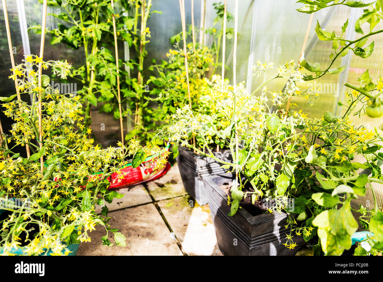 Tomato Plants Growing Tomatoes Greenhouse Tomatoes Green