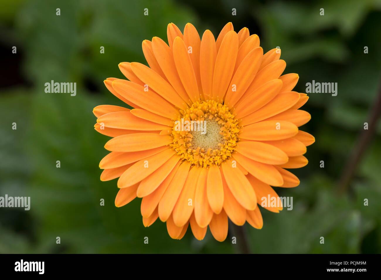 Close up of Gerbera Garvinea, 'Sweet Honey' - Stock Image