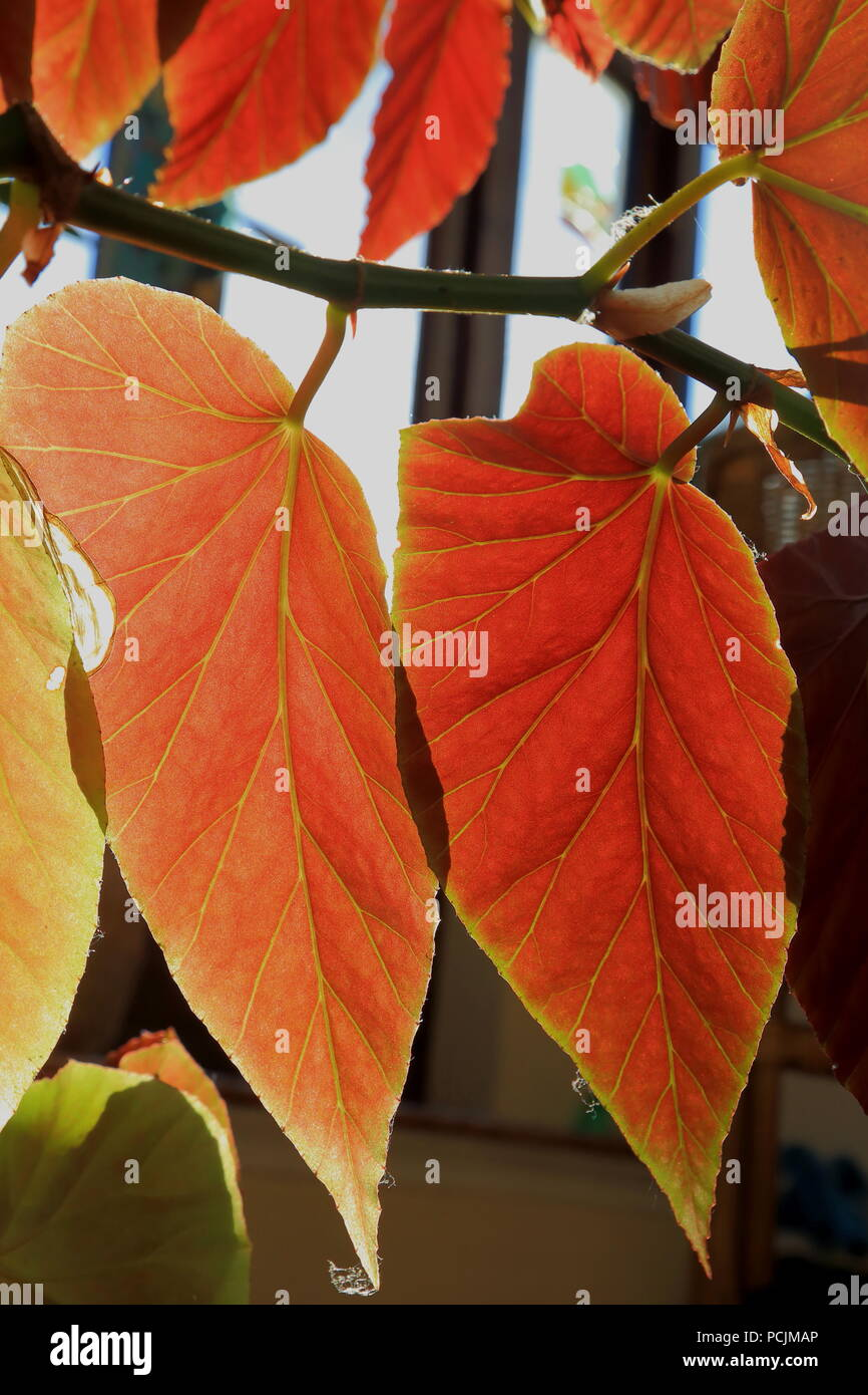 Detail of backlit red begonia leaves with transparent veins - Stock Image