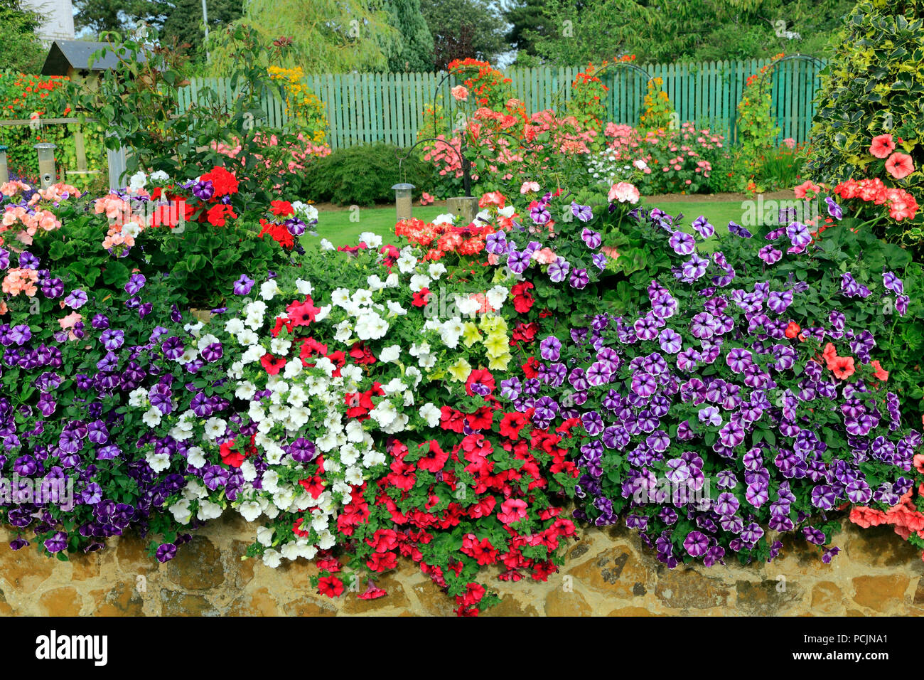 Front Garden Colourful Petunias Climbing Plants On Fence Multi