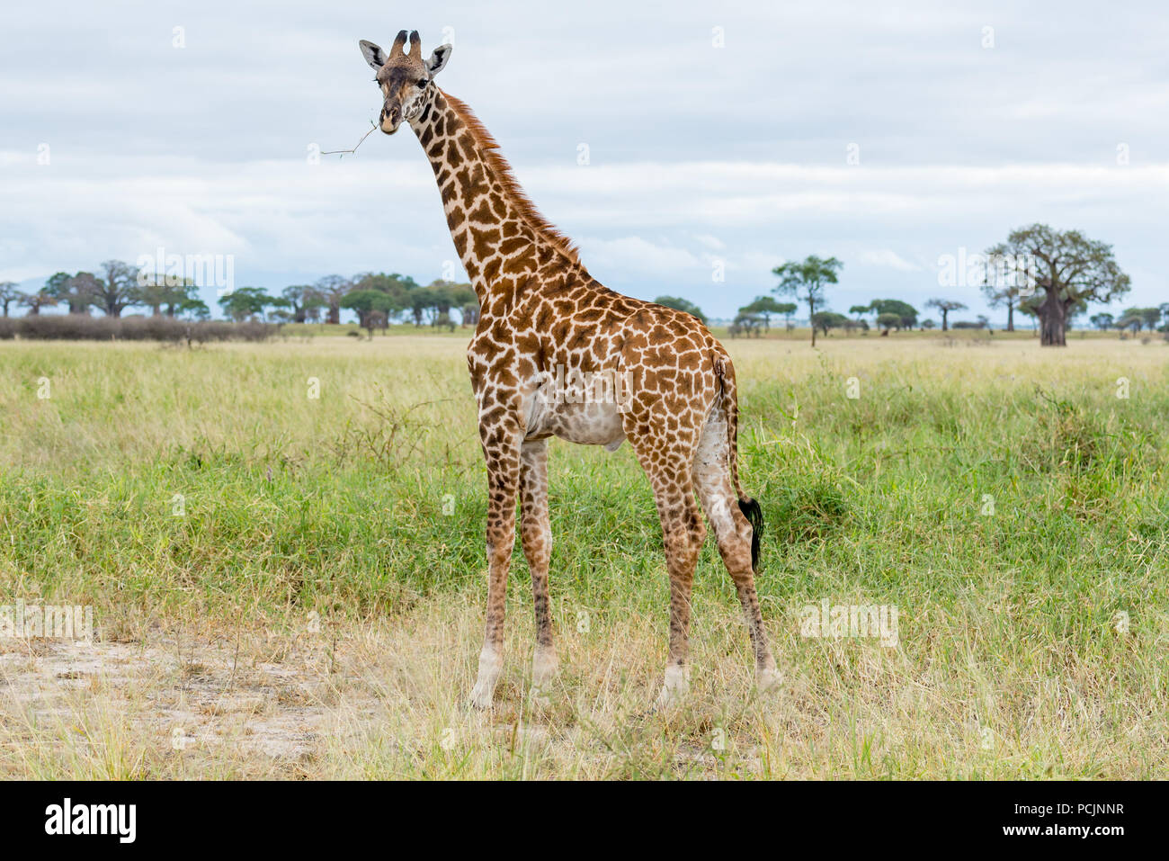 Giraffe Walking Across the Savannah in Tanzania - Stock Image