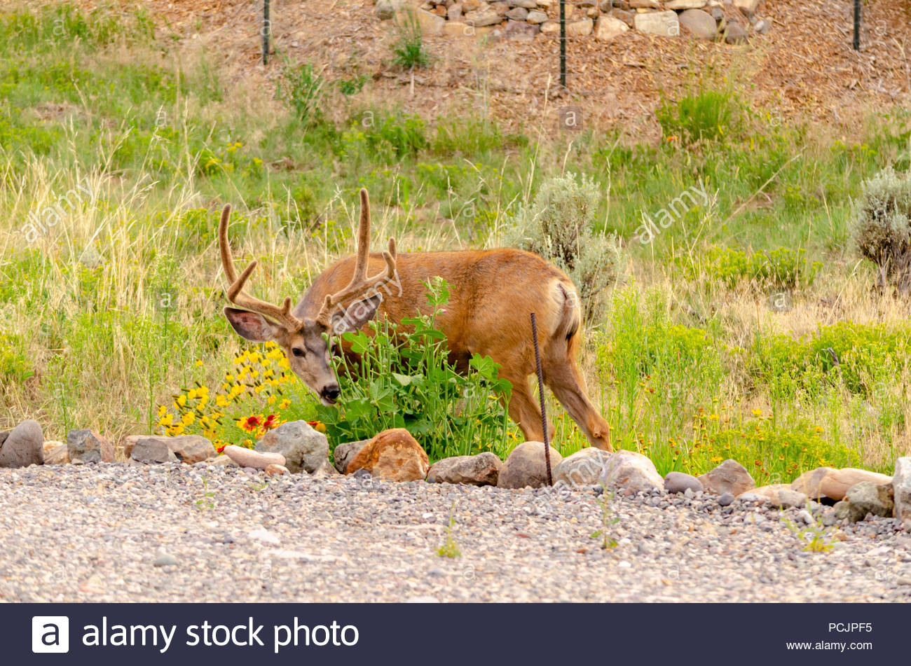 Mule Deer buck in summer eating planted garden flowers by home owner, Ridgway Colorado US. Photo taken in August. - Stock Image