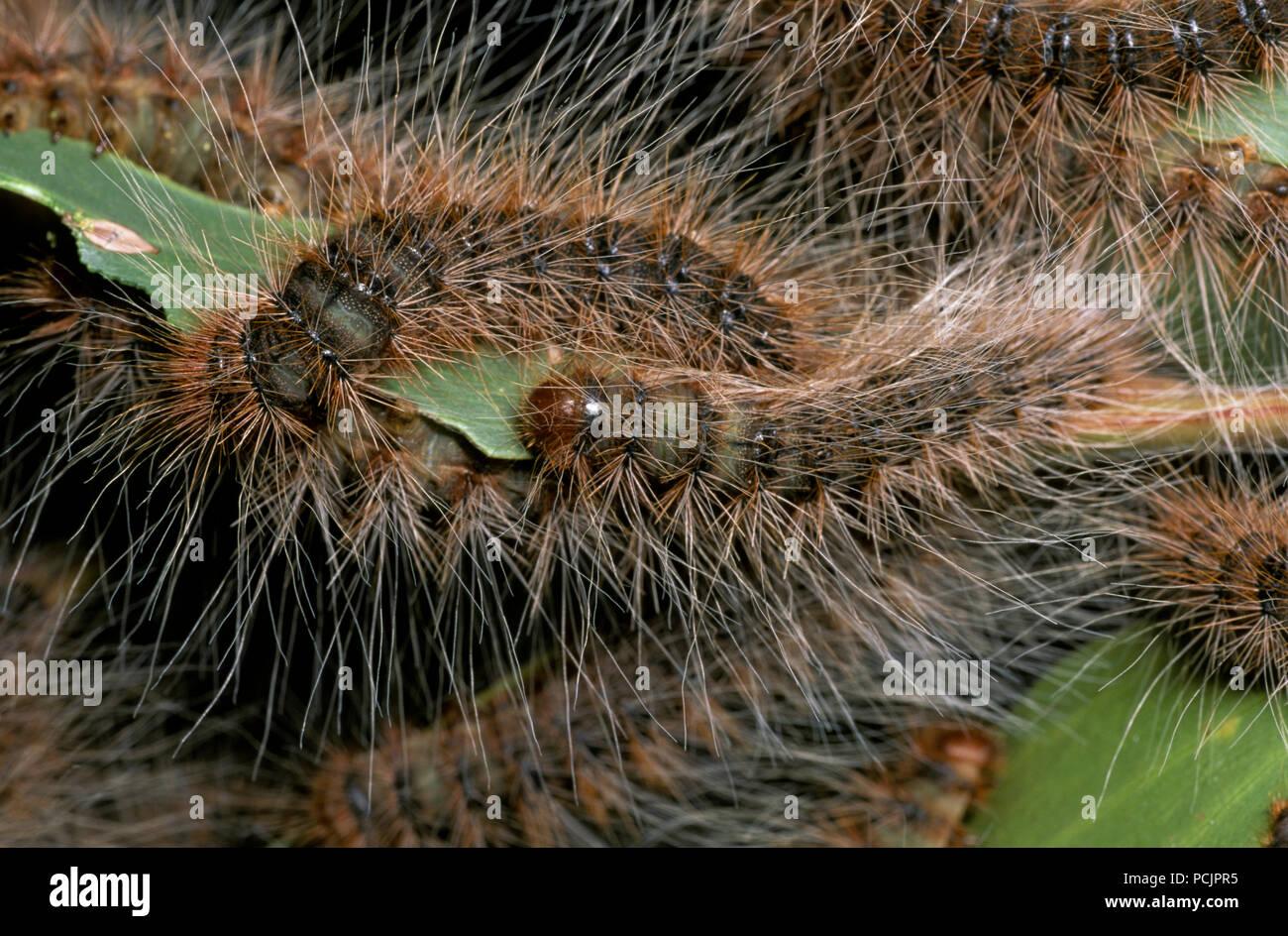 Australian Caterpillars Stock Photos Australian Caterpillars Stock