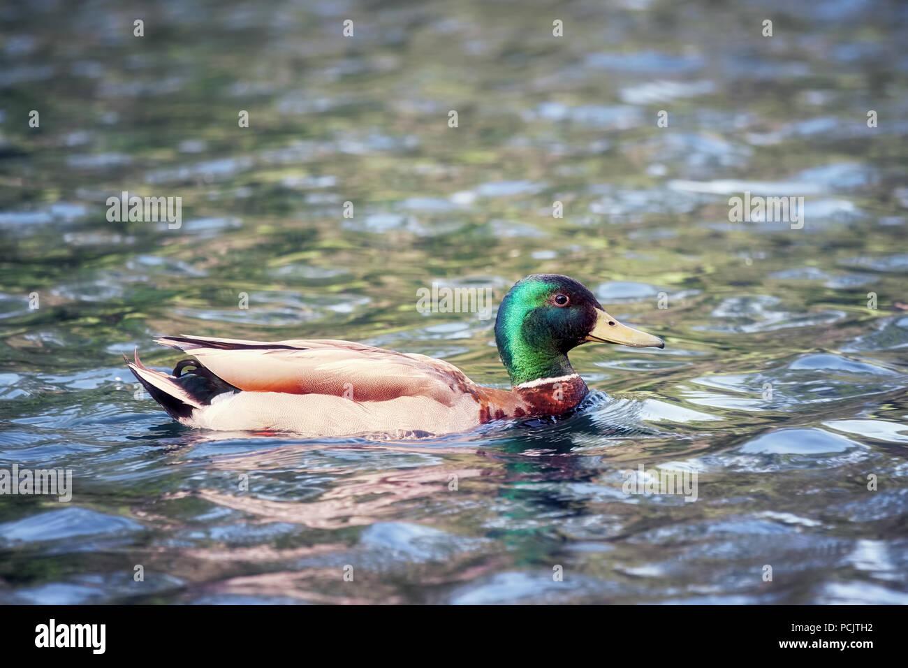 Duck Mallard Anas platyrhynchos anatidae swimming on a pond - Stock Image