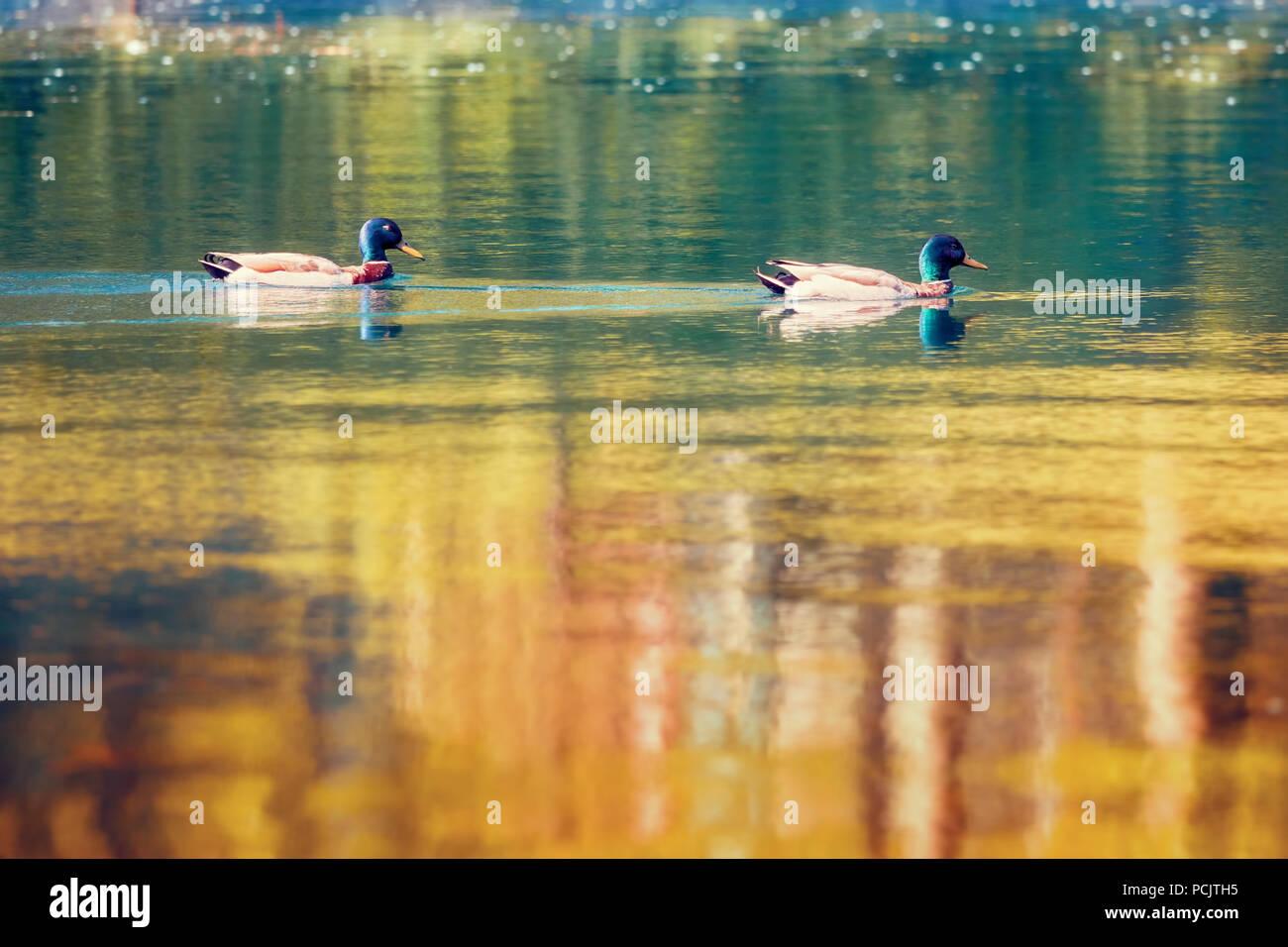 Two duck mallards Anas platyrhynchos anatidae swimming on a golden pond - Stock Image