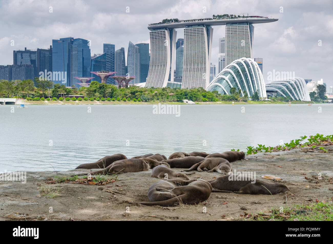 Family of otters spotted taking afternoon nap near Garden By The Bay East Garden. Otters progressively sighted in highly urbanized area. - Stock Image