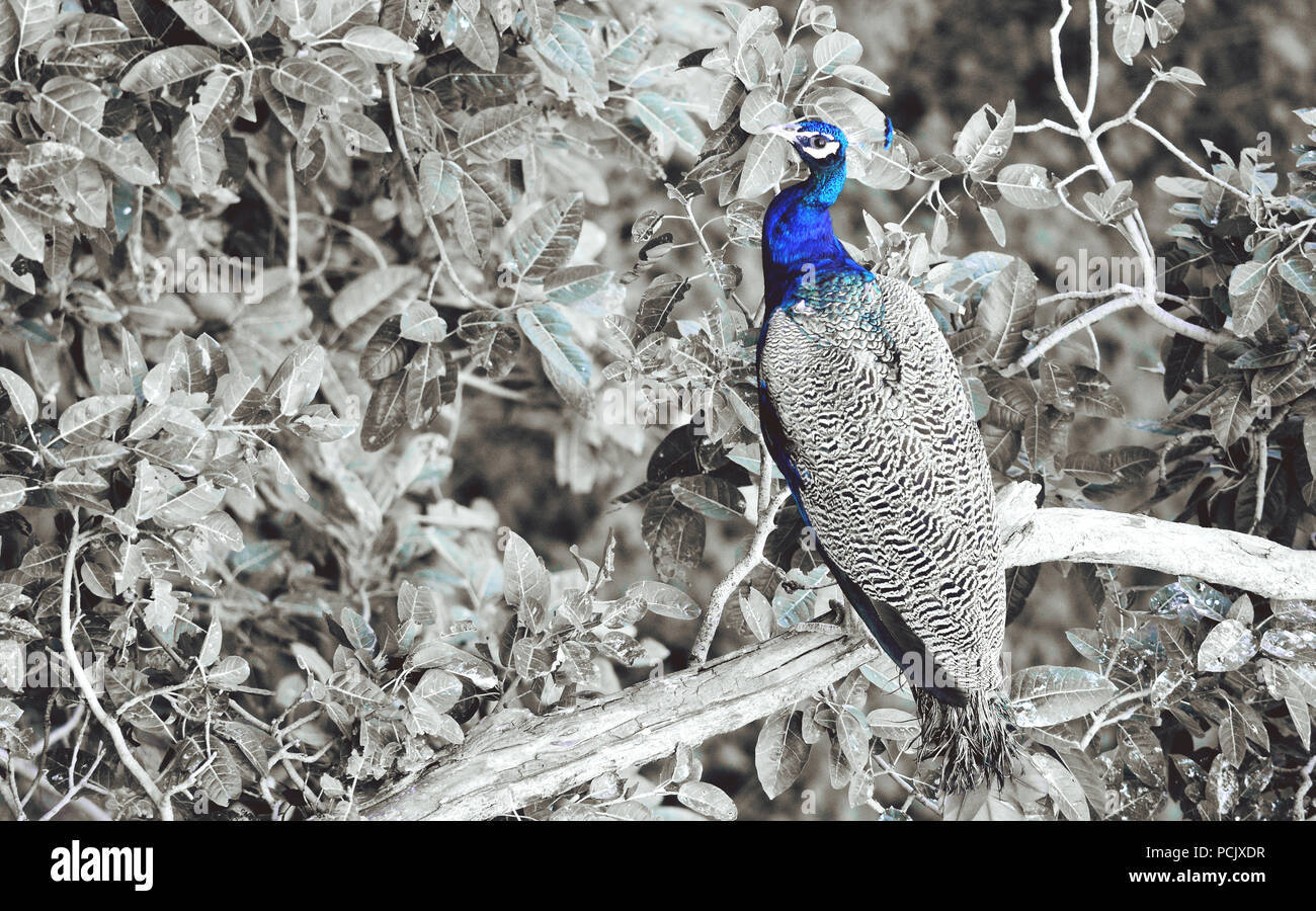 Peacock blue - Stock Image