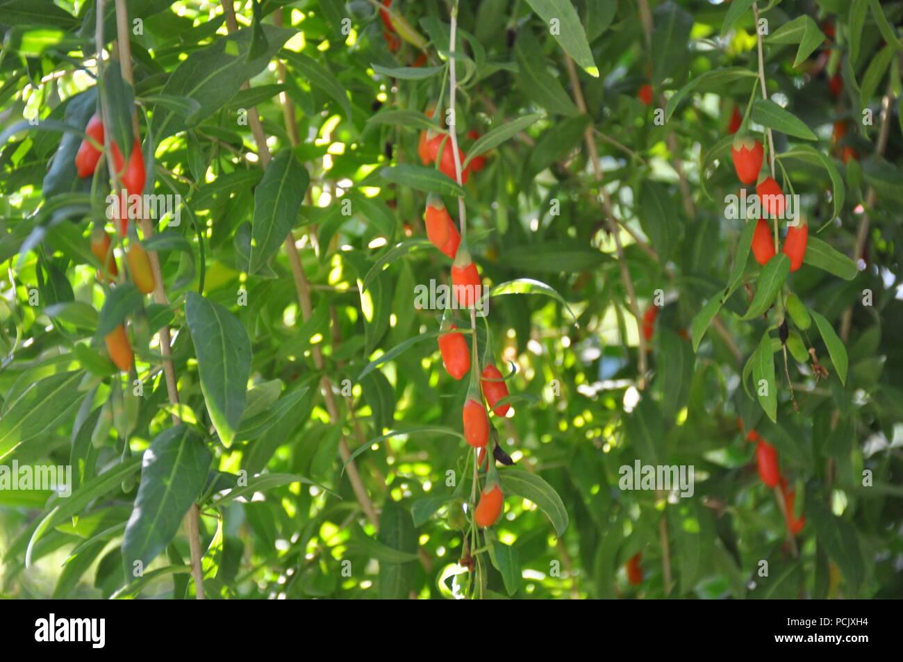 Goji Berry Plant Stock Photo Alamy
