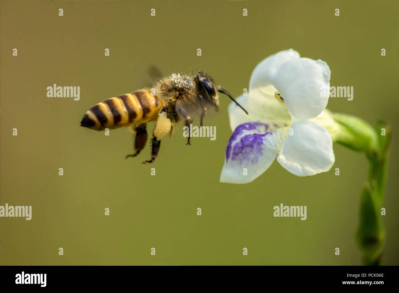 Close up Bee, Honeybee, Wasp, Hoverfly - Stock Image
