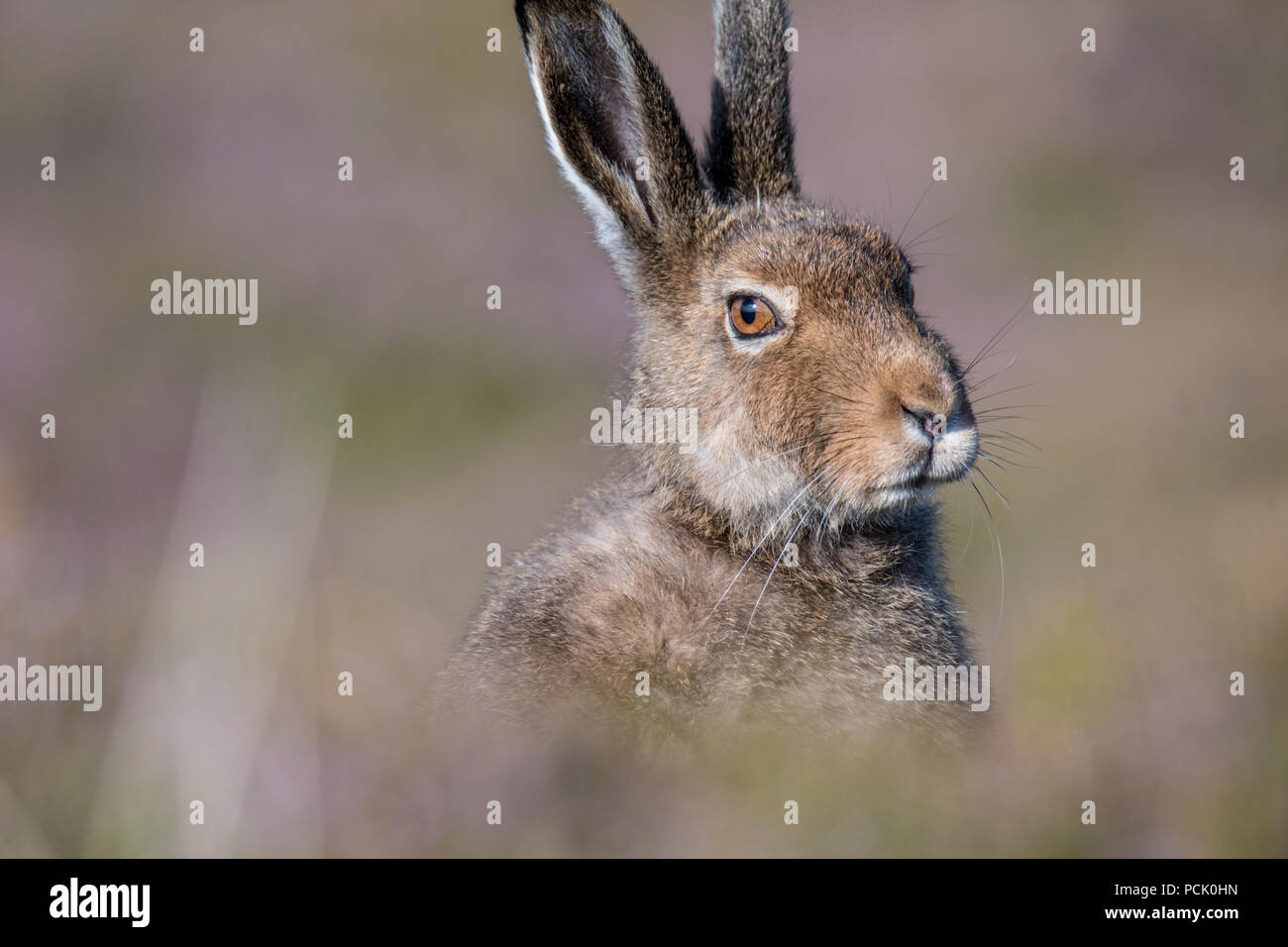 Close up of a mountain hare (lepus timidus) sitting amongst soft-focus heather in the summer - Stock Image
