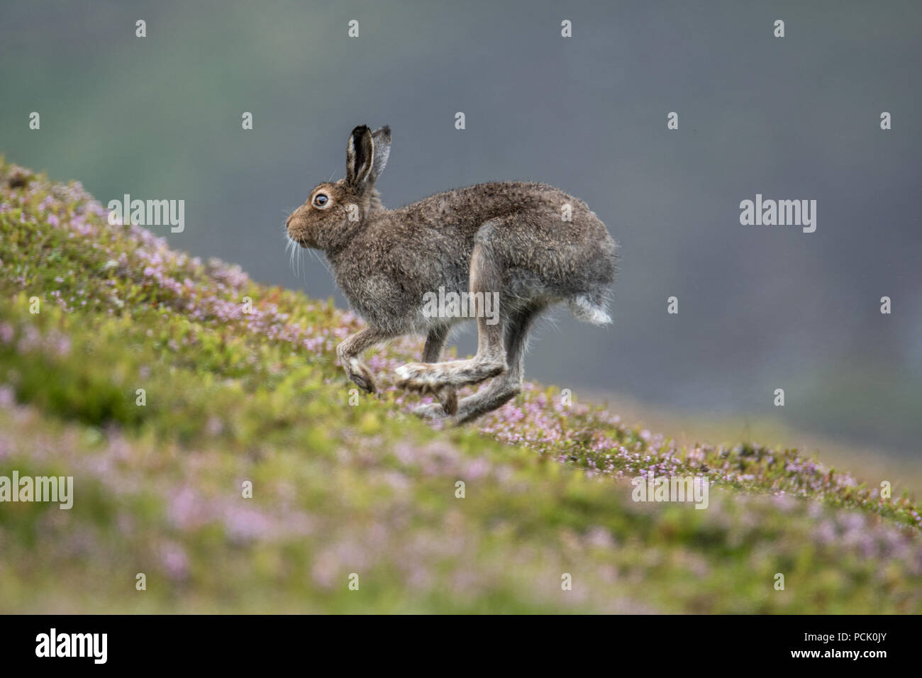 Mountain Hare(Lepus Timidus) running up a heather covered hillside in the summer - Stock Image