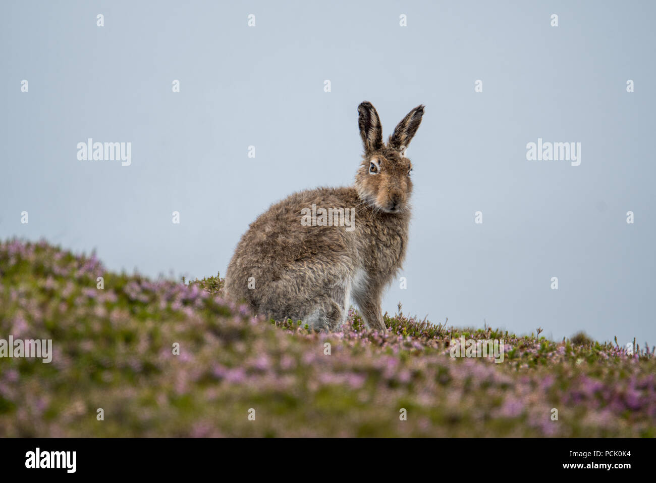 Mountain Hare (Lepus Timidos) sitting on a heather covered hillside after a rain shower, in summer coat - Stock Image