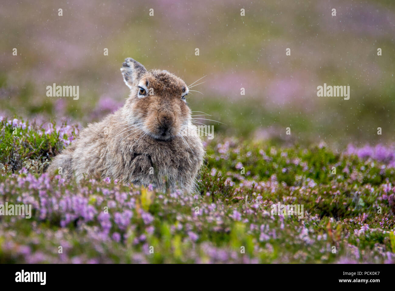 Mountain Hare (Lepus Timidus) in Summer Coat sitting on heather covered hillside in the rain - Stock Image