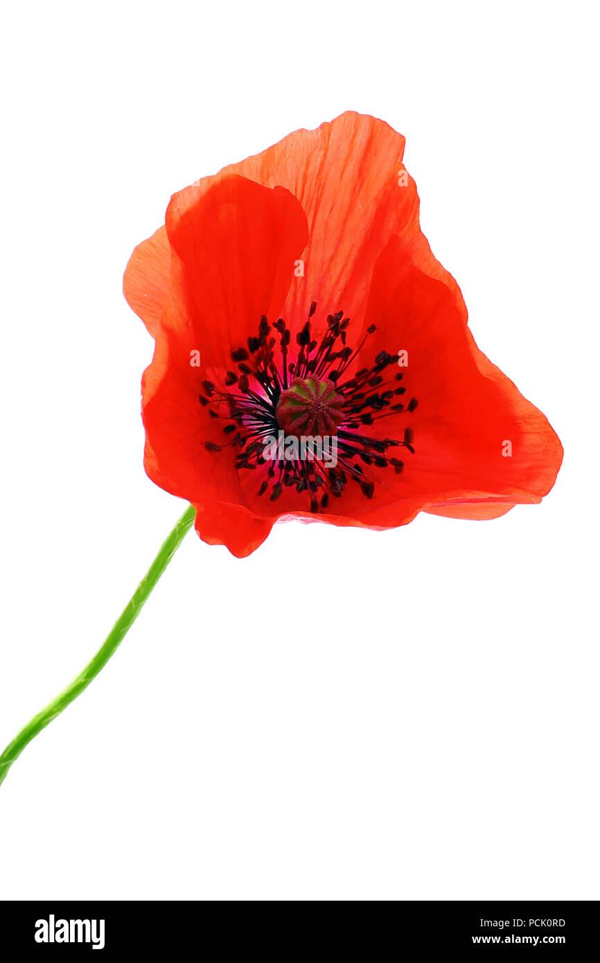 Isolated poppy flower - Stock Image