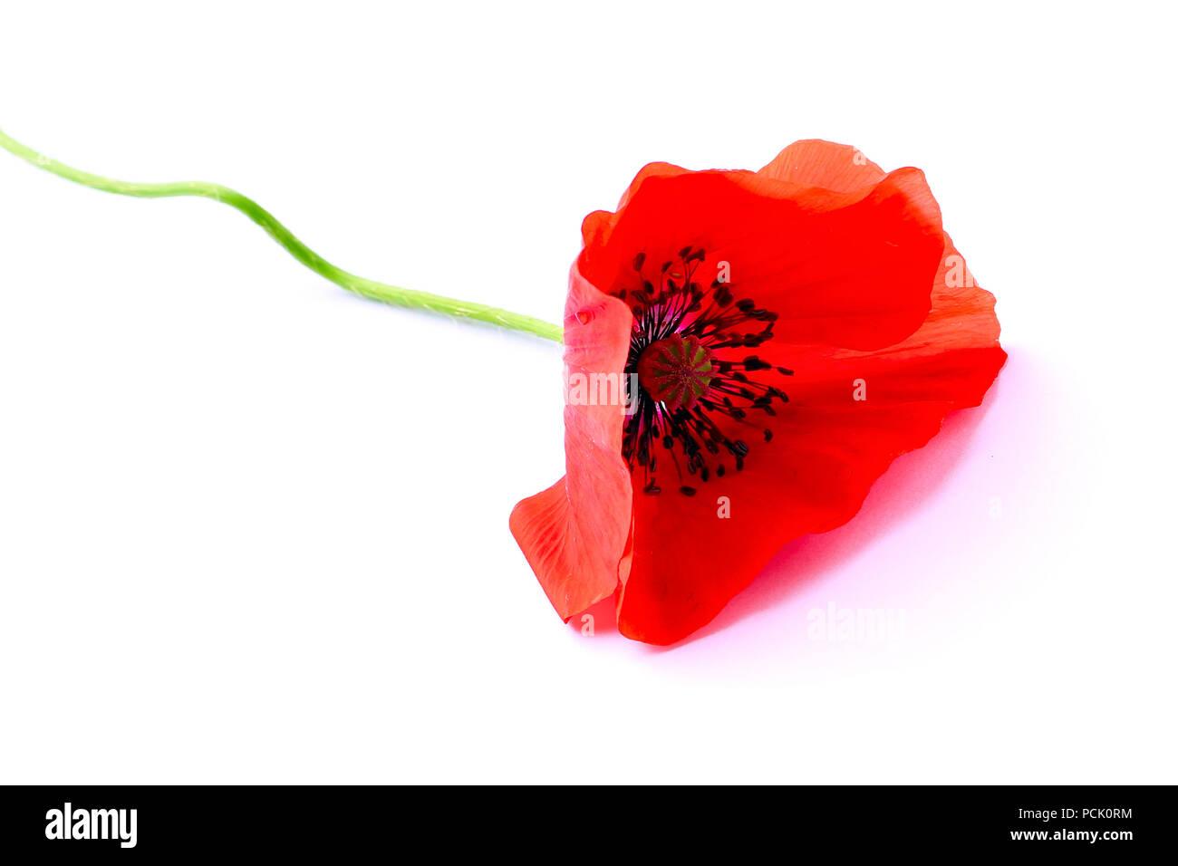 Red flower of poppy on white - Stock Image