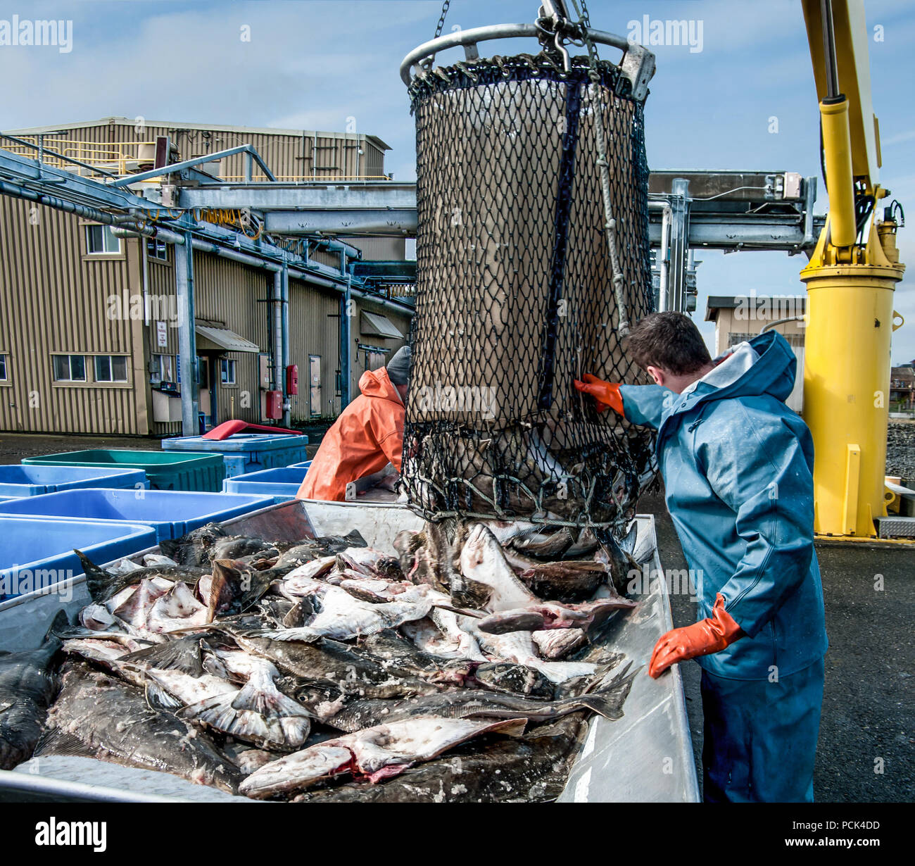 Unloading Fish:  Fresh caught halibut drop from the bottom of a transport basket after being hoisted by crane from a fishing boat at a dock in Alaska. Stock Photo